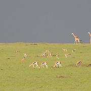 Animals on the Serengeti Plains before an approaching storm. Masai Mara National Reserve, Kenya, Africa