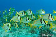 porkfish, Anisotremus virginicus, school on a shallow reef, Playa del Carmen, Cancun, Quintana Roo, Yucatan Peninsula, Mexico ( Caribbean Sea )