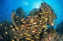 Pempheris vanicolensis, Hoehlen-Beilbauchfisch, Schwarm, school of Vanikoro sweeper, japanisches Schiffswrack Schiffwrack, Japanese shipwreck, Bali, Indonesien, Indopazifik, Indonesia Asien, Indo-Pacific Ocean, Asia