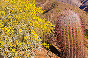 Morning light on barrel cactus and brittlebush under Indianhead Peak, Anza-Borrego Desert State Park, California USA