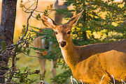 Mule deer at Summit Lake, Lassen Volcanic National Park, California