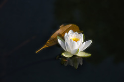 White Water Lilies #2