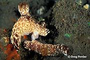 nudibranch, or sea slug, Jorunna rubescens ( Kentrodoris rubescens ), mating, Bali, Indonesia