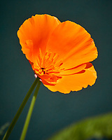 Orange California Poppy. Image taken with a Nikon N1V3 camera and 70-300 mm VR lens (ISO 160, 224 mm, f/5.6, 1/1250 sec).