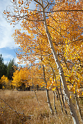"""""""Aspen in Tahoe 2"""" - These yellow aspens were photographed in the fall at the shack near Brockway Summit in Tahoe."""