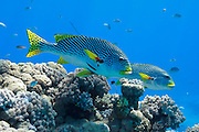 Diagonal banded Sweetlips fish (Plectorhinchus lineatus) on tropical coral reef - Agincourt reef, Great Barrier Reef, Queensland, Australia. <br />