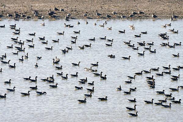 Nederland, Ubbergen, 5-3-2013Wilde grauwe ganzen in een waterplas in de Ooijpolder.Elk jaar overwinteren tienduizenden ganzen in de Gelderse Poort en de uiterwaarden langs de rivier de Waal.Foto: Flip Franssen/Hollandse Hoogte