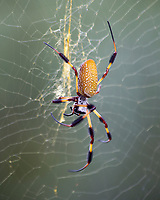 Golden Orb Spider, Columbia, South Carolina, Photo by Catherine Brown