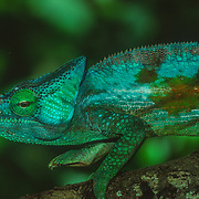 Madagascar is home to about half the world's chameleons, including both subfamilies, typical chameleons and dwarf chameleons (Brookesiinae). Chameleons are small to mid-size reptiles that are famous for their ability to dramatically change colours. Contrary to popular belief, they do not change colours to match their surroundings. Instead colour is usually used to convey emotions, defend territories, and communicate with mates. They have two layers of specialized cells that lie just beneath the lizard's transparent outer skin. The cells in the upper layer, called chromatophores, contain yellow and red pigments. Below them is another layer of cells called guanophores, containing the colourless crystalline substance guanin, which reflect the blue part of incidental light. If the upper layer of chromatophores is yellow, the reflected light becomes green (blue plus yellow). A layer of dark melanin containing melanophores is situated under the blue and white light-reflecting guanophores. These melanophores influence the lightness of the reflected light. All these different pigment cells can relocate their pigment, thereby influencing the colour of the light that is reflected.<br /> Other notable features are bulging eyes that move independently, enabling them to be able to look ahead and behind at the same time, feet with paired toes fixed in a grasping position, and the existence of horns or crests on the heads of many species. Additionally, arboreal species have prehensile tails used for grasping objects when climbing, and some species have long extensile tongues for catching insects or small vertebrates at a distance often greater than their length.<br /> They are diurnal, solitary, and often aggressive towards members of their own species (marked by rapid colour change and aggressive posturing). They are opportunistic hunters that wait for their prey, and move in a curiously, tentative swaying manner. Their bodies are very narrow enabling them easier passage through 