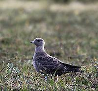 Long-tailed Skua, Stercorarius longicaudus