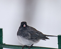 Dark-eyed Junco (Junco hyemalis). Image taken with a Leica SL2 camera and 90-280 mm lens.