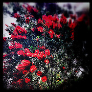 Red banksia flowers