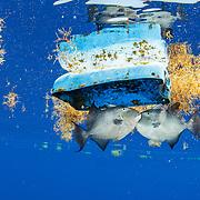 Sargasso Sea with Greenpeace