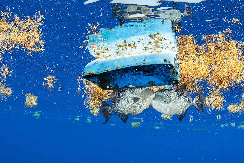 Two grey triggerfish (Balistes capriscus) fight over a large piece of plastic floating at the surface among sargassum seaweed (sargassum natans) in the Sargasso Sea, Atlantic Ocean.