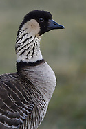 Hawaiian Goose, or Nene, Branta sandvicensis, one of the endemic birds of the Hawaiian Islands, this one in the Haleakala National Park on Maui. It is the World's most rare goose. It was once numerous in Hawaii, but after pigs, boar, mongooses, cats, dogs and rats were introduced the population fell to an all-time low in 1952, with only 30 birds left in the world. They were rounded up and then successfully bred in captivity and then reintroduced on several of the Hawaiian islands. A heroic effort in captive breeding, spearheded by Peter Scott at Slimbridge Wildfowl Reserve in the UK, brought it back from the brink of extinction in the 1950s, one of the first in a sequence of such monumental wildlife conservation efforts over the decades since. Now the wild population of the Nene in Hawaii is 2500 birds, of which 650 on Maui and 250 of them in the Haleakala National Park.