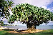 Hala tree, Oahu, hawaii<br />