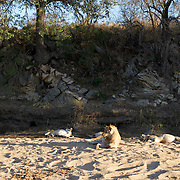 African lion, small pride resting in the sand of a dry river bed, Timbavati Game Reserve, South Africa.
