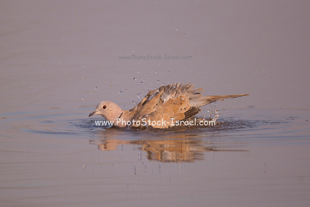 Collared Dove (Streptopelia decaocto) bathing itself in water Photographed at the Ein Afek nature reserve, Israel