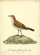 Juvenile Traquet imitateur from the Book Histoire naturelle des oiseaux d'Afrique [Natural History of birds of Africa] Volume 4, by Le Vaillant, Francois, 1753-1824; Publish in Paris by Chez J.J. Fuchs, libraire 1805