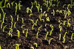 Emerging sweet pea seedlings pushing up through soil - Lathyrus odoratus
