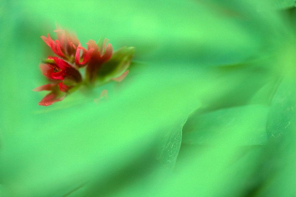 Indian paintbrush wildflower, summer, Mount Adams Wilderness, Cascade Mountains, Washington, USA