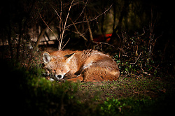 Red fox (Vulpes vulpes) sleeping in the sun in a suburban garden, Leicester, England, UK.