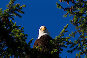 A bald eagle (Haliaeetus leucocephalus) peers down from its perch in the top of a tree in Heritage Park, Kirkland, Washington.