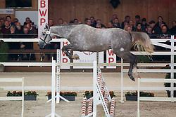 024, Paulo van HD<br /> Hengstenkeuring BWP - Lier 2018<br /> © Hippo Foto - Dirk Caremans<br /> 19/01/2018025, Papin De Kalvarie<br /> Hengstenkeuring BWP - Lier 2018<br /> © Hippo Foto - Dirk Caremans<br /> 19/01/2018