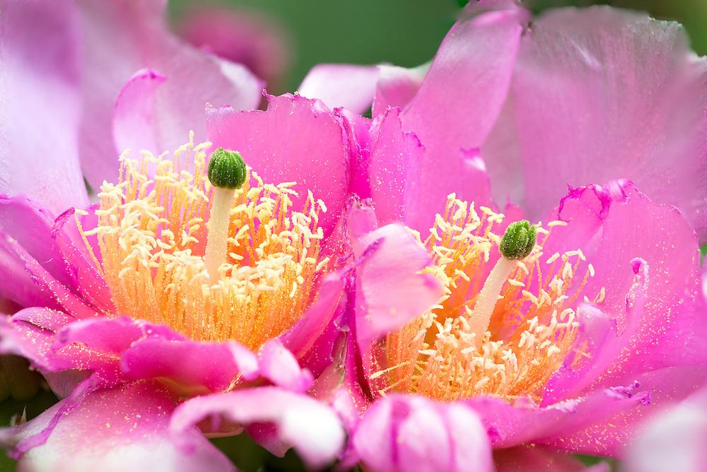 Pricklypear cactus in bloom, Zion National Park, Utah.