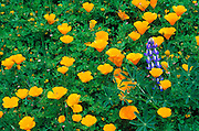 California Poppies (Eschscholzia californica) and Blue-pod Lupine, Santa Monica Mountains National Recreation Area, California