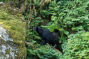 An adult American black bear walks along a rocky outcropping in the temperate rain forest at Anan Creek in the Tongass National Forest, Alaska. Anan Creek is one of the most prolific salmon runs in Alaska and dozens of black and brown bears gather yearly to feast on the spawning salmon.
