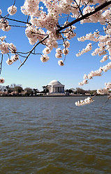 Washington, DC: Cherry Blossom Festival.  Cherry blossoms and Jefferson Memorial.  Photo #: washch106 (nef445)..Photo copyright Lee Foster, www.fostertravel.com, 510-549-2202, lee@fostertravel.com