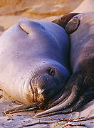 Juvenile two-year-old male Elephant Seals, Mirounga angustirostris, Ano Nuevo State Reserve, California.