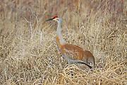 Sandhill cranes walking in wetland habitat.