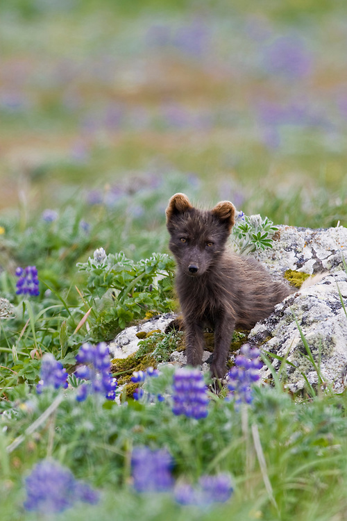 Arctic Fox, Alopex lagopus, Blue Phase, St. Paul, Pribilof Islands, Alaska.#07_0765