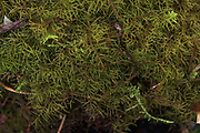 Shaded Wood-moss Hylocomiastrum umbratum on forest floor, Vidzeme, Latvia Ⓒ Davis Ulands | davisulands.com