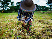 "21 NOVEMBER 2017 - MAUBIN, AYEYARWADY REGION, MYANMAR: A woman harvests rice in the Ayeyarwady  Delta. Myanmar is the world's sixth largest rice producer and more than half of Myanmar's arable land is used for rice cultivation. The Ayeyarwady Delta is the most important rice growing region and is sometimes called ""Myanmar's Granary."" The UN Food and Agriculture Organization (FAO) is predicting that the 2017 harvest will increase over 2016 and that exports will surge to 1.8 million tonnes.   PHOTO BY JACK KURTZ"
