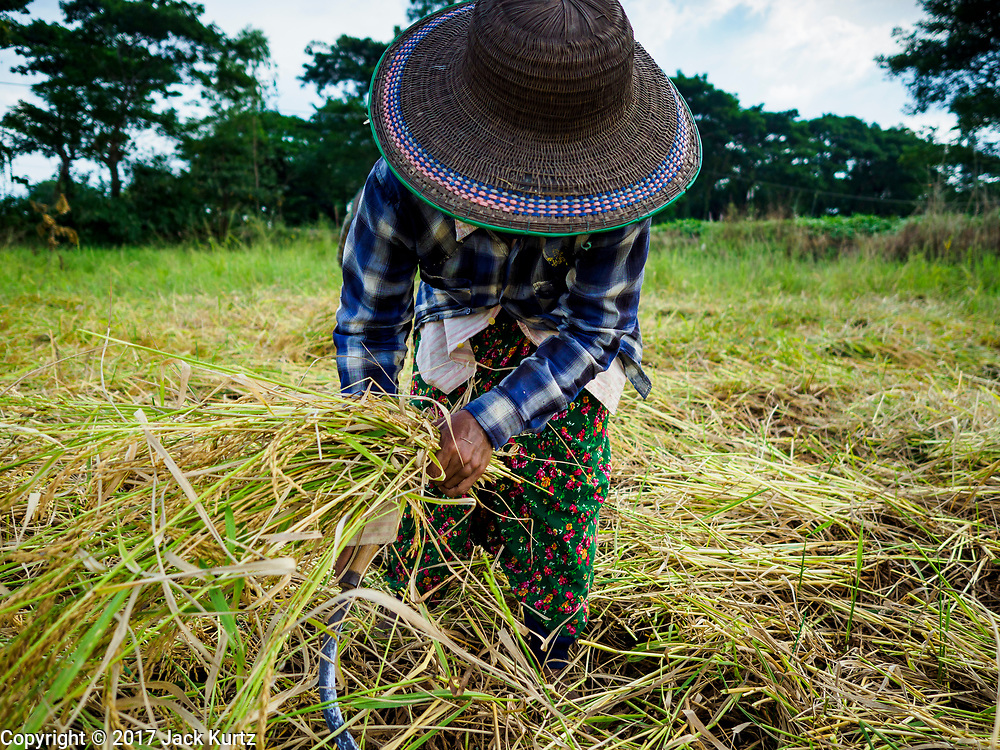 """21 NOVEMBER 2017 - MAUBIN, AYEYARWADY REGION, MYANMAR: A woman harvests rice in the Ayeyarwady  Delta. Myanmar is the world's sixth largest rice producer and more than half of Myanmar's arable land is used for rice cultivation. The Ayeyarwady Delta is the most important rice growing region and is sometimes called """"Myanmar's Granary."""" The UN Food and Agriculture Organization (FAO) is predicting that the 2017 harvest will increase over 2016 and that exports will surge to 1.8 million tonnes.   PHOTO BY JACK KURTZ"""