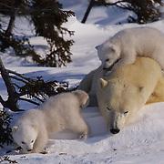 Polar Bear (Ursus maritimus) Mother and small cubs. Hudson Bay, Churchill, Manitoba. Canada.