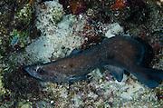 Greater Soapfish (Rypticus saponaceus)<br /> BONAIRE, Netherlands Antilles, Caribbean<br /> HABITAT & DISTRIBUTION: Bottom, ledges or coral heads.<br /> Florida, Bahamas, Caribbean, Bermuda & south to Brazil.