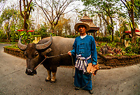 Water buffalo, Four Seasons Resort Chiang Mai, Mae Rim district, near Chiang Mai, Northern Thailand