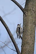 Yellow-Bellied Sapsucker climbing a tree in upstate NY woods.