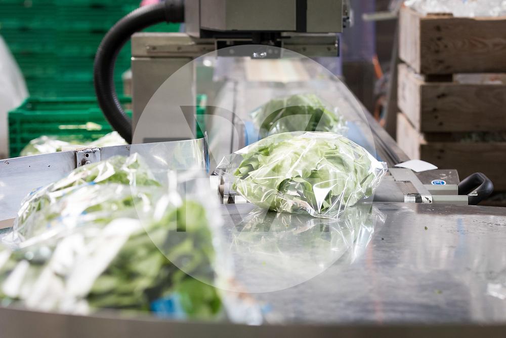 SCHWEIZ - NIEDERBIPP - In Plastikfolie eingepackte Kopfsalate auf einer Verpackungsanlage bei Bösiger Gemüsenkulturen AG - 21. Juni 2019 © Raphael Hünerfauth - http://huenerfauth.ch