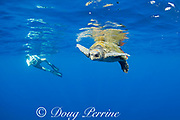 underwater photographer and male olive ridley sea turtle, Lepidochelys olivacea, in open ocean, offshore from southern Costa Rica, Central America ( Eastern Pacific Ocean )