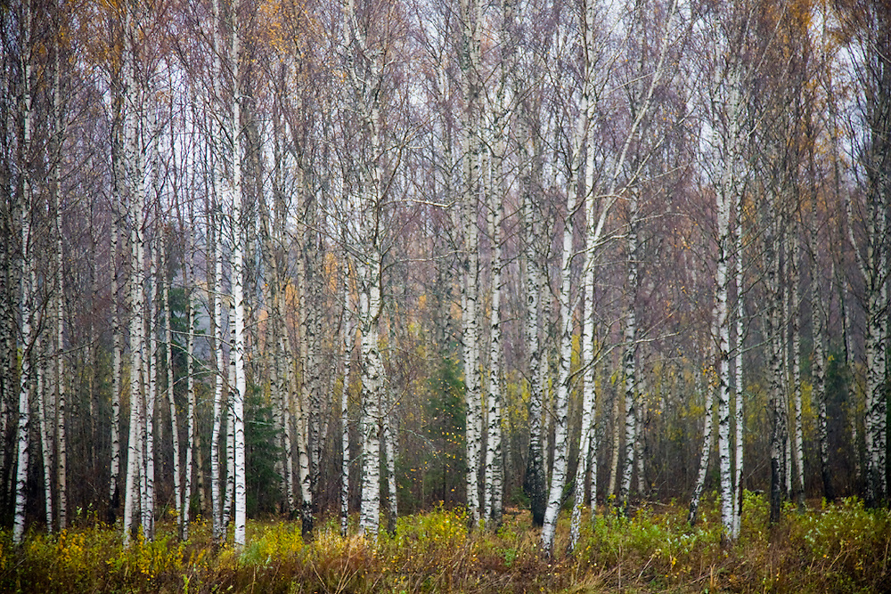 A birch forest near Jumurda, Latvia.