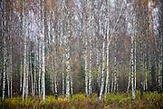 A birch forest near Jumurda, Latvia.