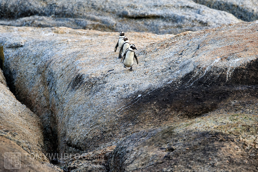 Three endangered African penguins (Spheniscus demersus) marching in unison, heading out to sea together in the morning to forage for food.