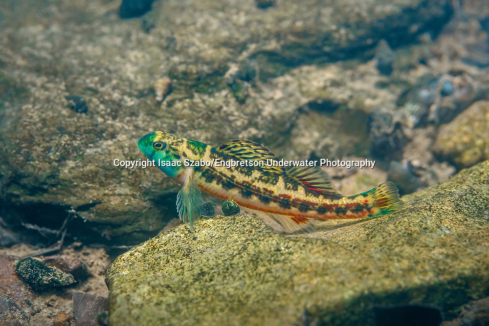 Cherry Darter<br /> <br /> Isaac Szabo/Engbretson Underwater Photography
