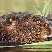 North American beaver (Castor canadensis), Minnesota