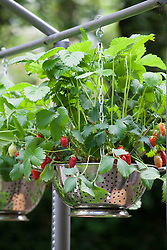 Strawberry hanging basket in a recycled colander